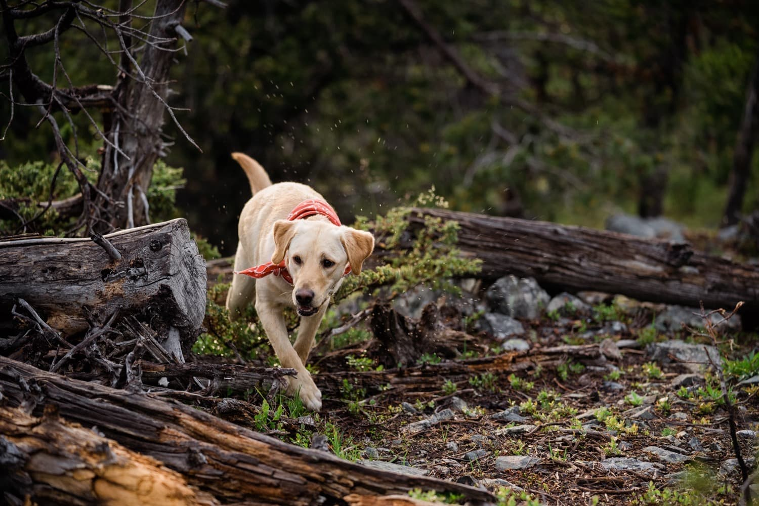 Aspen the Pyrador Lab cross dog wanders around the mountain during her parents have their photoshoot with Tara Hill Studios, Fernie Elopement photographer